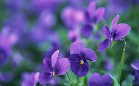 Обои макро, цветы, лепестки, фиолетовые, луто