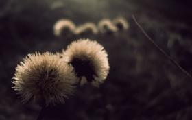Обои макро, одуванчики, фото, цветки
