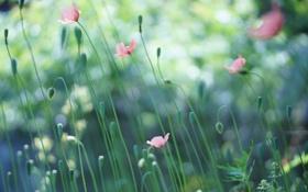 Картинка поле, маки, семена, розовые, бутоны