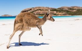 Картинка пляж, кенгуру, профиль