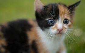 Картинка усы, взгляд, мордочка, котёнок