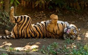 Картинка язык, кошка, трава, тигр, отдых, суматранский