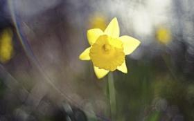 Обои цветок, желтый, лепестки, нарцисс