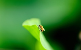 Обои природа, фон, пчела