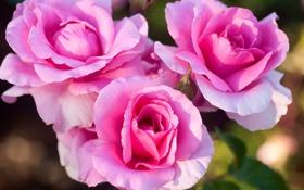Обои розы, лепестки, трио, бутоны