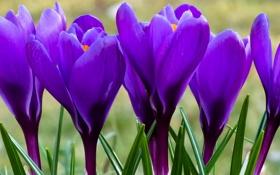Обои цветы, фон, крокусы, сиреневые, весенние