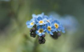 Картинка цветок, макро, цветы, растение, весна, голубые, незабудки