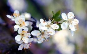 Обои весна, вишня, цветение, лепестки, дерево, белые, ветка