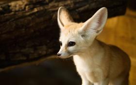 Картинка взгляд, хищник, мордочка, уши, лисица, фенек