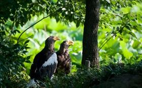 Обои деревья, птицы, природа, растения, белоплечие- орланы