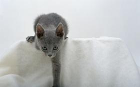 Картинка взгляд, котёнок, дымчатый, голубоглазый
