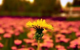 Обои цветы, одуванчик, Природа, Pyatkov_Denis