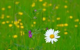 Обои поле, трава, лепестки, ромашка, луг