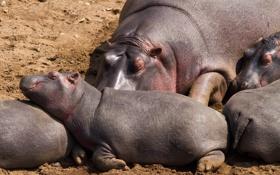 Обои семья, бегемот, Африка, гиппопотам