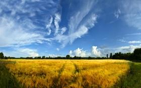 Картинка пшеница, поле, трава, деревья, природа, фото, пейзажи