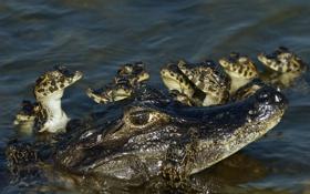 Картинка аллигатор, Пантанал, Бразилия, рептилия