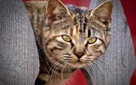 Обои кот, взгляд, морда
