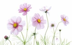 Картинка краски, растение, лепестки, космея