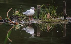 Картинка трава, отражение, птица, чайка, островок, водоем