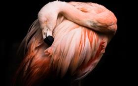 Картинка фон, птица, черный, фламинго