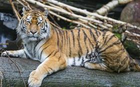 Картинка кошка, бревно, амурский тигр, ©Tambako The Jaguar