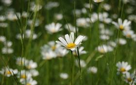 Картинка трава, макро, цветы, ромашки, растения, ромашка