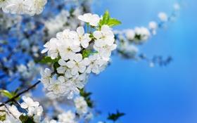 Картинка макро, ветки, цветочки, яблоня