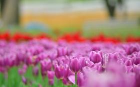 Обои цветы, яркие, весна, размытость, тюльпаны, розовые, бутоны