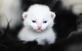 Картинка белый, котенок, глазки, малыш, мордочка