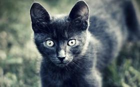 Обои кошка, животные, глаза, взгляд, котенок, серый, шерсть