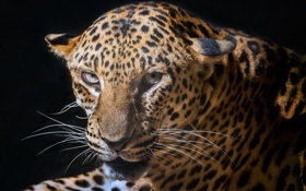 Обои leopard, look, black, fur, colors