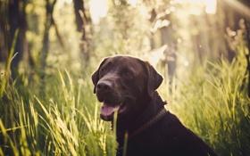 Обои трава, взгляд, морда, собака