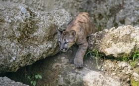 Обои камни, детёныш, кугуар, горный лев, ©Tambako The Jaguar, котёнок, пума
