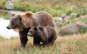 Картинка трава, природа, камни, медвежонок, медведица