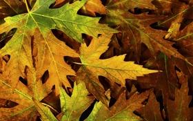 Картинка осень, листья, макро, природа, фото, листва, autumn