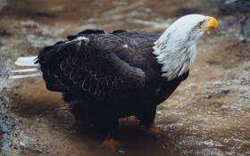Картинка вода, ручей, птица, перья, клюв, белоголовый орлан, bald eagle