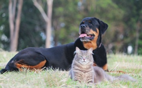 Обои кошка, отдых, собака, серая
