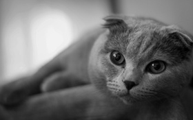 Картинка Кошки, ч/б, котэ, шотландец