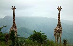 Обои зелень, природа, жирафы, два