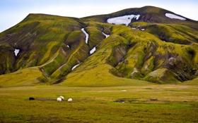 Обои зелень, снег, овцы, гора