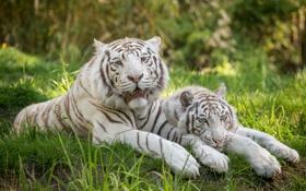 Картинка кошка, трава, отдых, пара, белый тигр