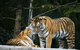 Обои амурский, кошки, тигр, пара