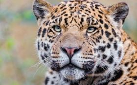 Обои взгляд, морда, хищник, ягуар