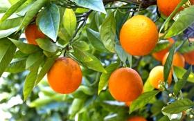 Картинка апельсины, oranges, фрукты, leaves, fruits