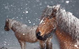 Обои зима, снег, ветер, лошади, хлопья