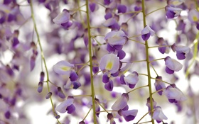 Картинка природа, дерево, цветение, цветки, wisteria, вистерия