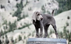 Обои взгляд, собака, щенок, weimaraner