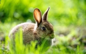 Картинка зелень, трава, макро, природа, заяц, размытость, кролик