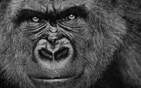 Обои взгляд, обезьяна, горилла