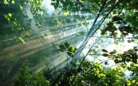 Обои лес, листья, солнце, деревья, дым, Лучи